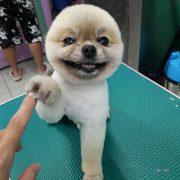 問個GO寵物美容小sho(秀)老師作品1